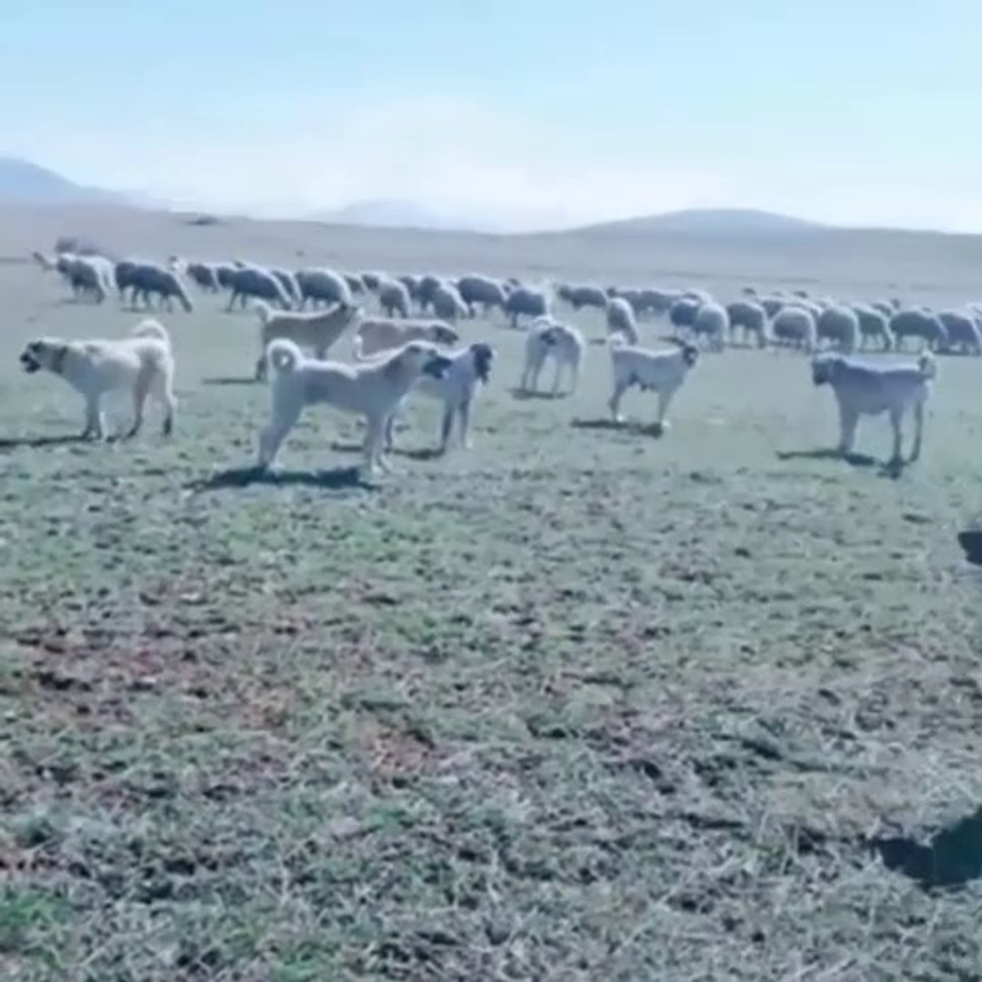 BiR DUZiNE SiVAS KANGAL KOPEKLERi GOREV BASINDA - KANGAL SHEPHERD DOGS and SHEEPS at MiSSiON