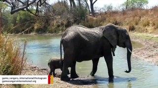 Watch: Mama Elephant Gently Helps Her Nervous Baby Cross Stream