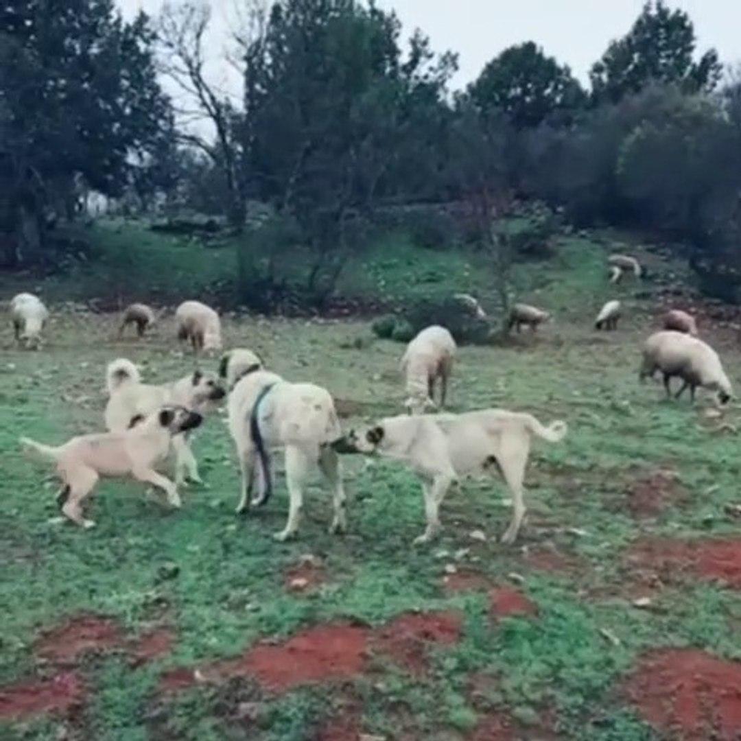 SiVAS KANGAL KOPEKLERi KOYUN GOREVi BASINDA - KANGAL SHEPHERD DOGS at MiSSiON SHEEP