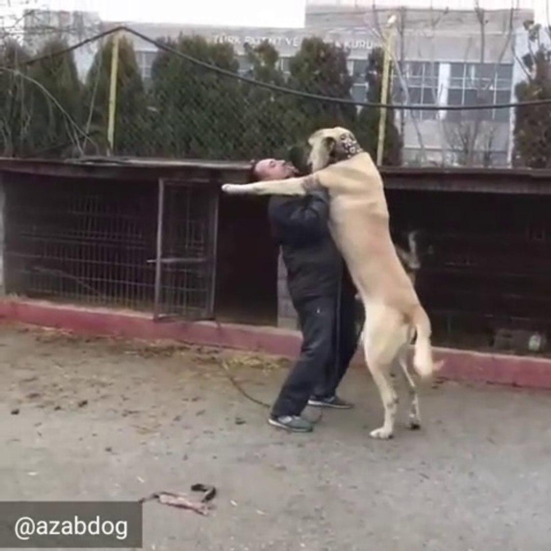 DEV BiR ADAM BOYU MALAKLI COBAN KOPEGi - GiANT MALAKLI SHEPHERD DOG