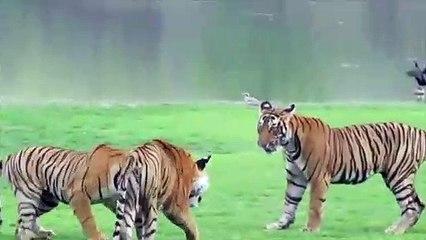 Rencontre entre 3 tigres... Impressionnant