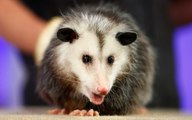 Man Sneaks Pet Opossum on Plane — and Almost Gets Away With It