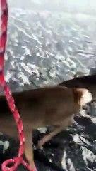 Cette vidéo adorable du sauvetage de trois cerfs sur un lac gelé fait des millions de vues