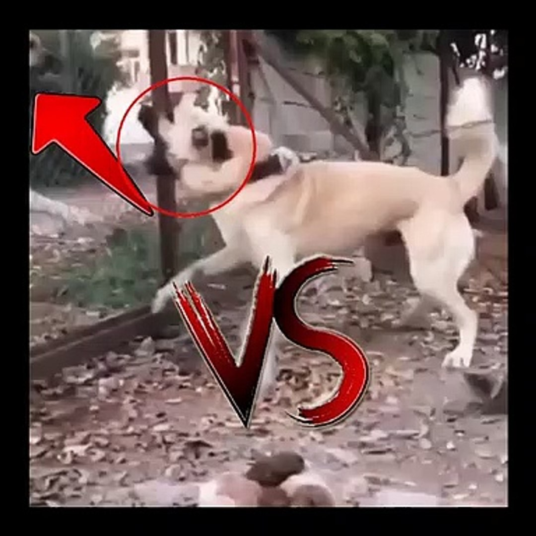 ANADOLU COBAN KOPEKLERi KARSILASMA ve ATISMA - ANATOLiAN SHEPHERD DOG VS