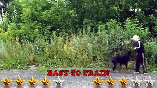 Doberman VS Rottweiler – Rottweiler VS Doberman – Aspin