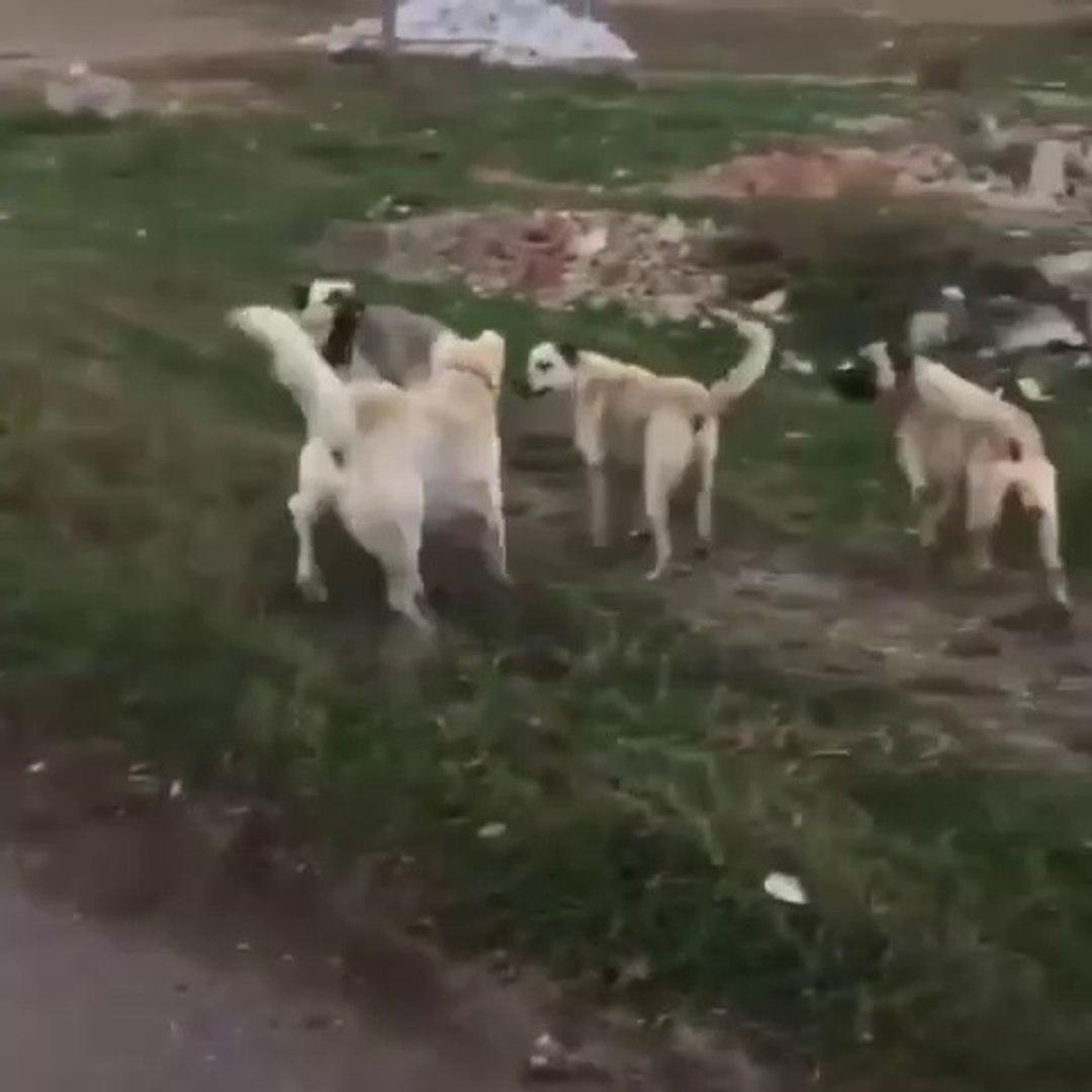 AKBAS COBAN KOPEGi vs ANADOLU COBAN KOPEKLERi - AKBASH SHEPHERD DOG vs ANATOLiAN SHEPHERD DOGS