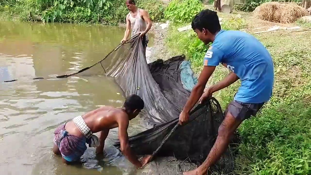 Catfish catching from pound by people । Big and baby catfish