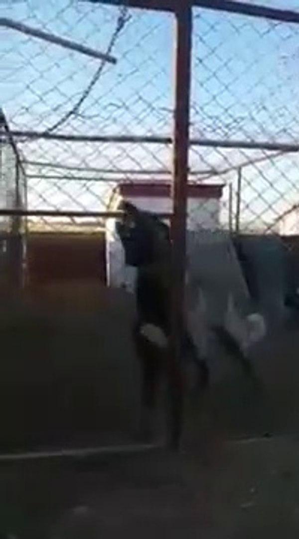 ADAMCI ve COK SiNiRLi SiVAS KANGAL KOPEGi - VERY VERY ANGRY KANGAL DOG