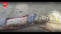 Dev kobra 3 metrelik pitonu böyle yuttu