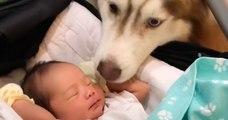 Danica Arquel, la petite fille adoptée par une famille de huskys