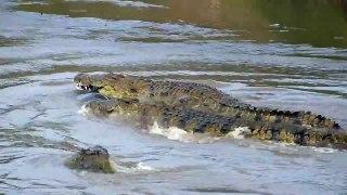 Mara River Crocodile Crocodile attacks on Wildebeest in Mara