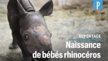 VIDEO. Naissance en décembre de deux bébés rhinocéros noirs