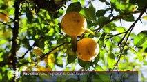 Alimentation : le Yuzu, un agrume japonais aux nombreuses vertus