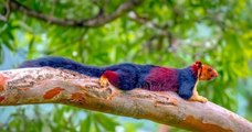 Inde : l'écureuil Malabar est un écureuil splendide multicolore
