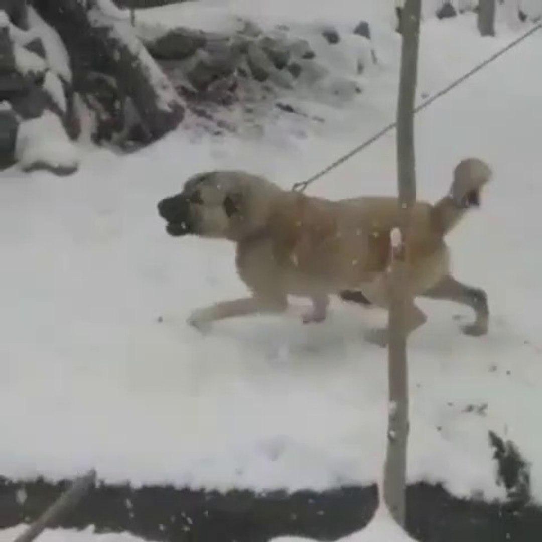 ADAMCI ve CILGIN SiVAS KANGAL KOPEGi GOREV BASINDA - ANGRY KANGAL DOG in GARDEN