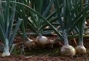 Free Stock Footage Onion Field