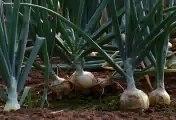 Free Stock Footage Onion Field 2
