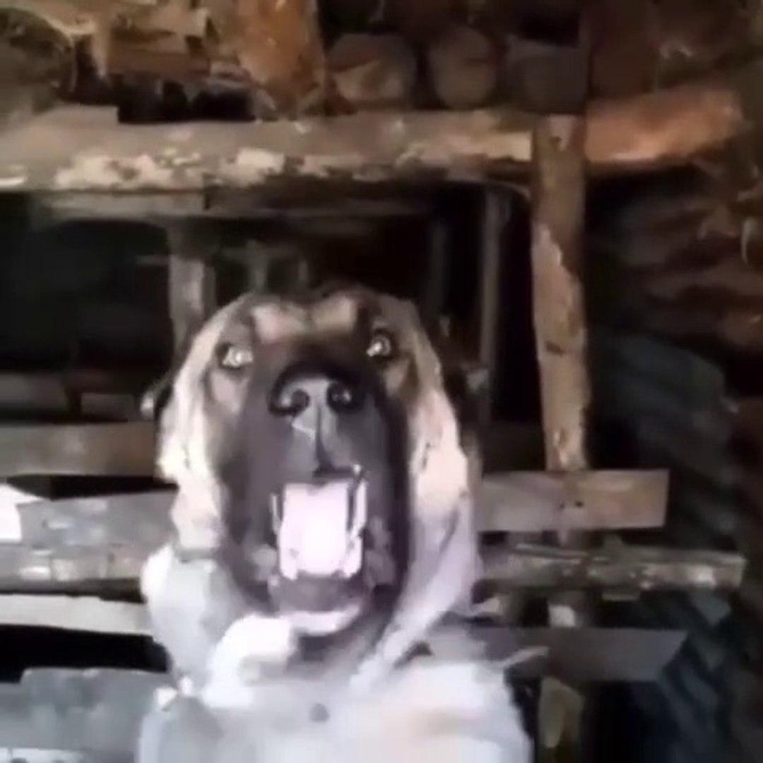 CON SiNiRLi ANADOLU COBAN KOPEGi - VERY ANGRY ANATOLiAN SHEPHERD DOG