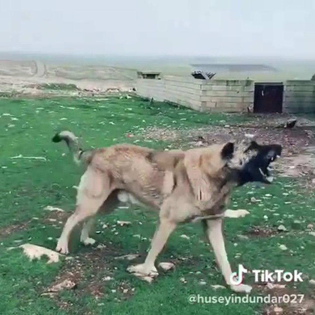SALDIRGAN ADAMCI ANADOLU COBAN KOPEGi - ANGRY ANATOLiAN SHEPHERD DOG
