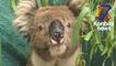 Comment une asso vient en aide aux koalas victimes des incendies en Australie