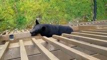Un ours grimpe au balcon d'une maison... terrifiant