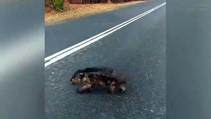 Australie : l'image déchirante d'un wombat brûlé traversant une route pour chercher de la nourriture