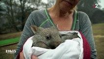 Australie. Une petite femelle wombat désormais orpheline a échappé aux flammes en restant dans son terrier