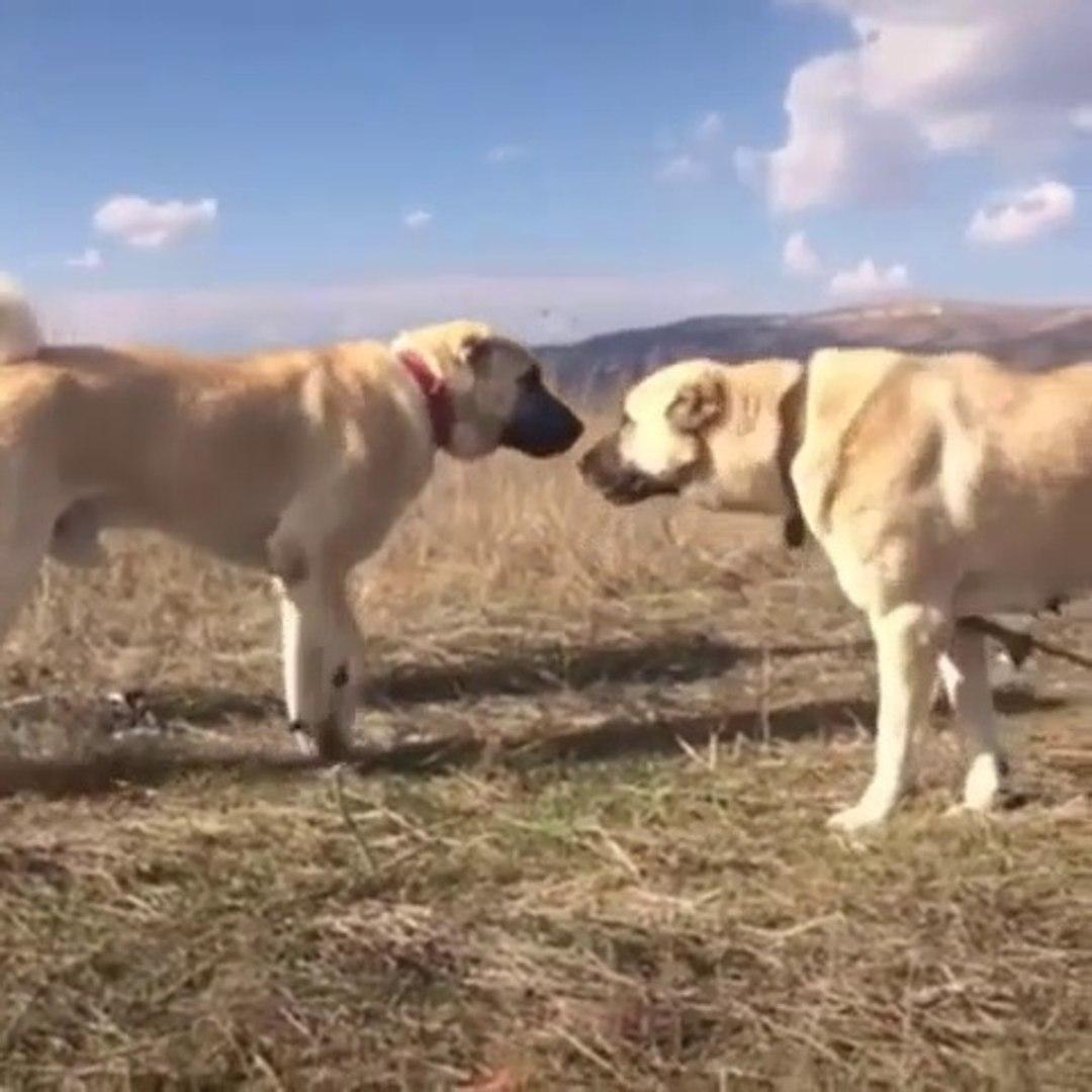 SiVAS KANGAL KOPEKLERi MERADA GOREVDE - KANGAL SHEPHER DOGS at MiSSiON