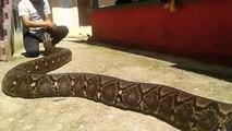 Le python qu'il manipule est le plus gros du monde
