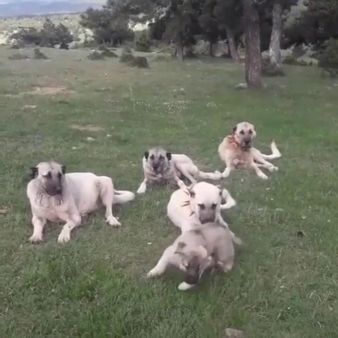 SiVAS KANGAL KOPEKLERi GOREV ARASI MOLA - KANGAL SHEPHERD DOGS