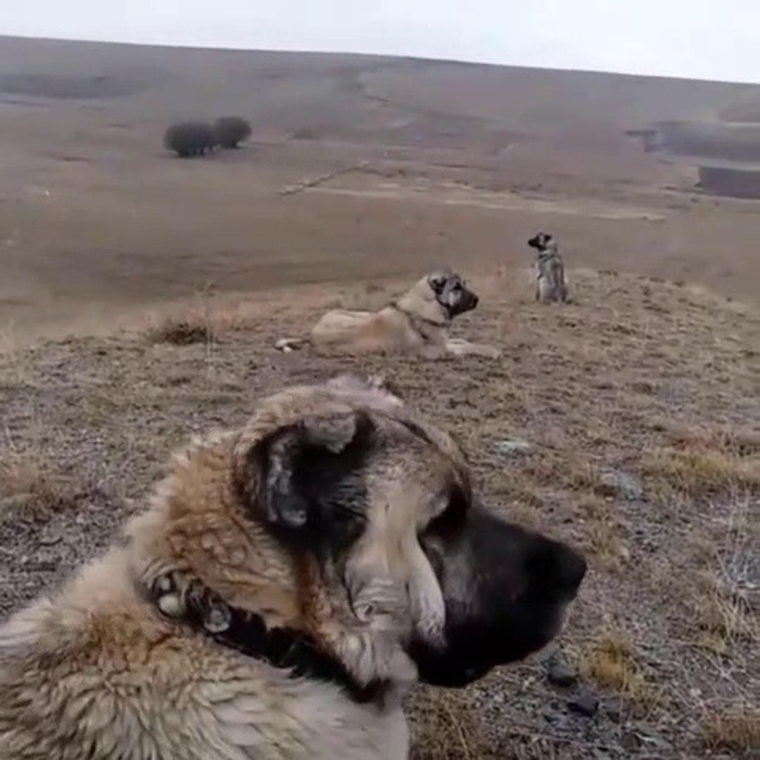 ASLANLAR PUR DiKKAT GOREV BASINDA - ANATOLiAN SHEPHERD DOGS at MiSSiON