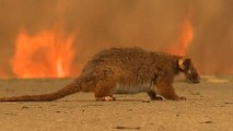 Australia's bushfires devastate native wildlife population