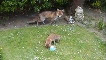 Il découvre une maman renard et ses 2 bébés dans son jardin... Trop mignon