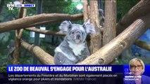 Le zoo de Beauval s'engage pour aider les koalas blessés lors des incendies en Australie
