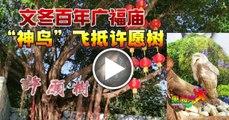 """文冬百年广福庙 """"神鸟""""飞抵许愿树1"""
