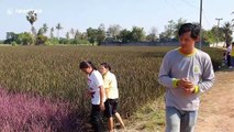 Thai farmer successfully grows field of pink rice plants