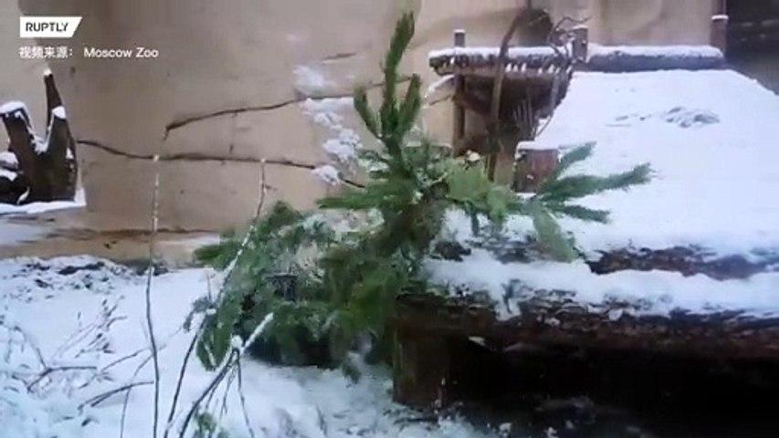 大熊猫开启玩雪模式:在雪地里撒欢