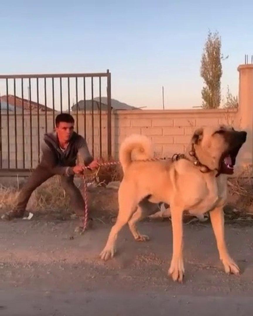 DEV COBAN KOPEGiNi ZOR ZAPT ETTi - GiANT ANATOLiAN SHEPHERD DOG
