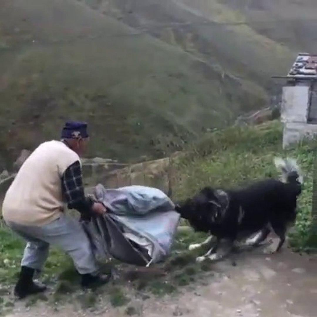 DEDE ile KARADENiZ DAG COBAN KOPEGi VE - BLACKSEA MOUNTAiN SHEPHERD DOG VS GRANDFATHER