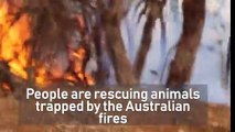 Charity rescues animals that have survived Australian fires but face starvation in the aftermath