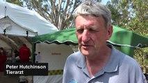 Koalas auf Känguru-Insel kämpfen ums Überleben