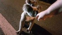 Un australien croise la route d'une maman koala avec un bébé sur son dos... Adorable