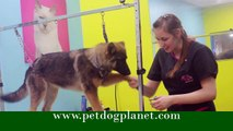 Grooming German Shepherd | Pet Grooming | Dog Grooming