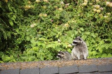 La colonisation des ratons laveurs encouragée par le réchauffement climatique