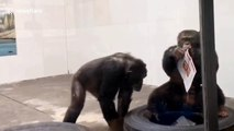 Monkey see, monkey read! Chimpanzees spotted inspecting newspapers at Chinese zoo
