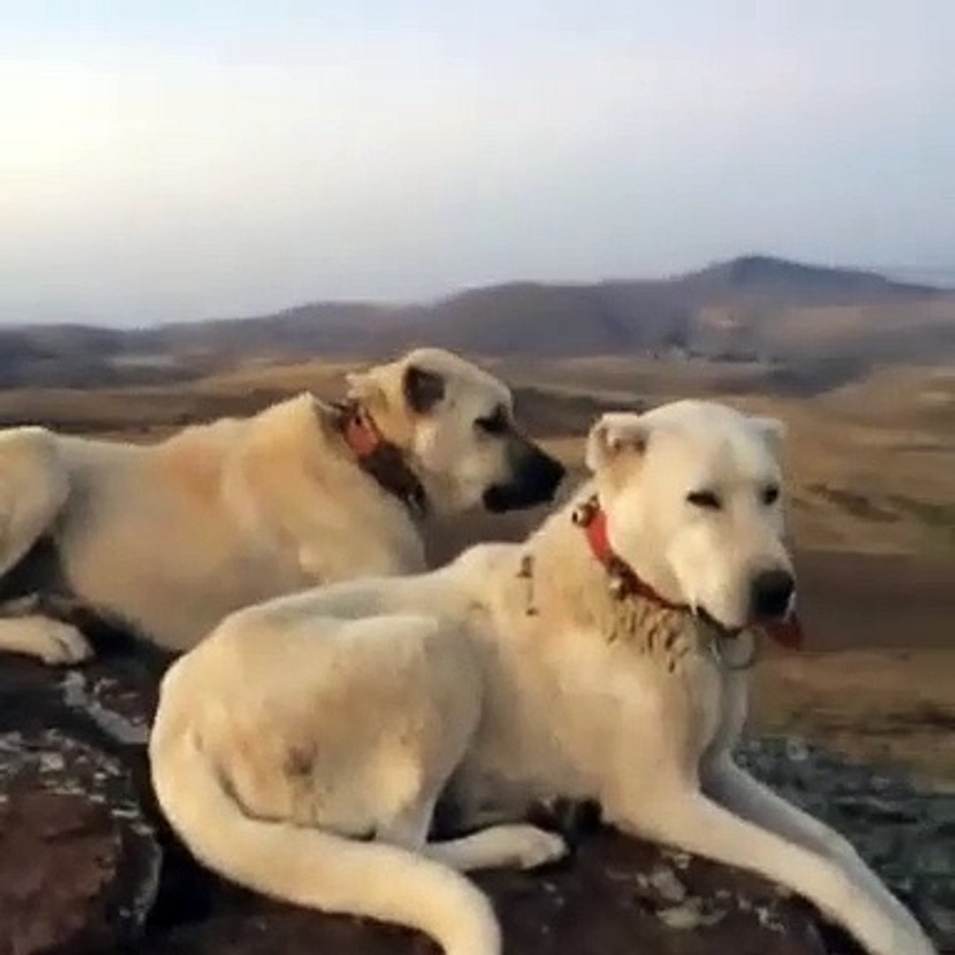 AKBAS ve COBAN KOPEKLERi ASAYiS BERKEMAL - AKBASH DOG and ANATOLiAN SHEPHERD DOGS