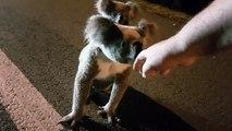 Adorable : il croise un koala et son bébé et les aident à traverser la route