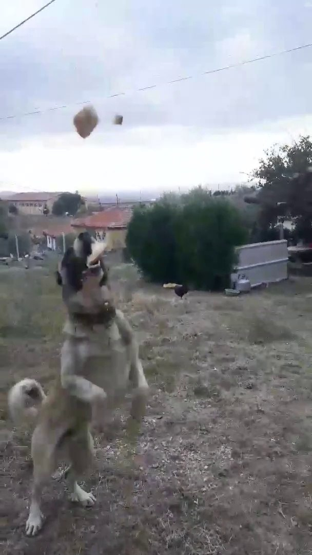 COK SERi ANADOLU COBAN KOPEGi - ANATOLiAN SHEPHERD DOG