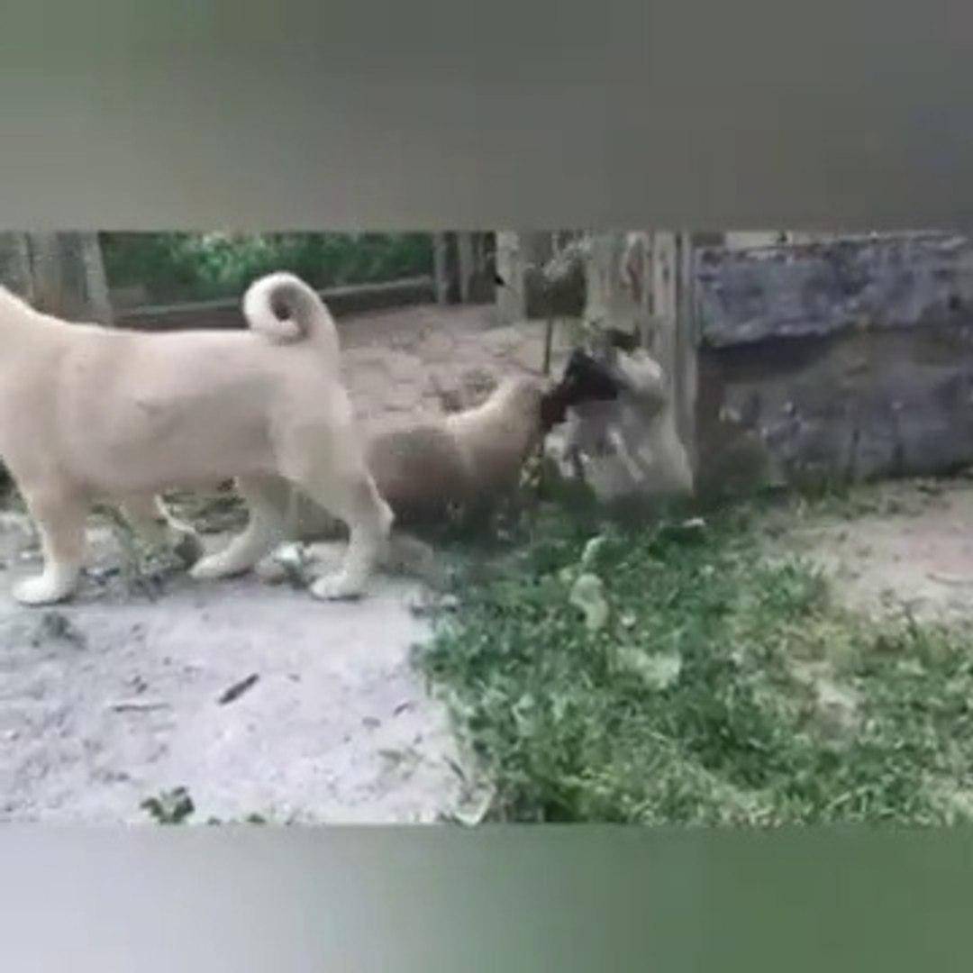 SiVAS KANGAL KOPEGi YAVRULARINDAN YANLIS ANLASILMA vs - KANGAL DOG PUPPiES