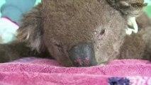 Meet Taylor: A dog with a nose for saving koalas